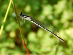 Damsel Fly (starmist1) Tags: damselfly flowergarden poolhousegarden bug entomology august summer