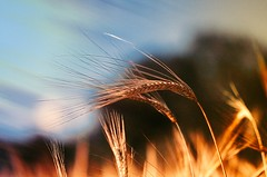 Fields (Caucas') Tags: sinop karadeniz nikon fields tarla fire red macro d7000 85mm 85mm18g blacksea nature village alev wheat buğday basic micro lens mgkafkas kafkas