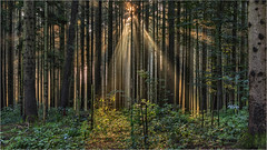 Waldszene (Robbi Metz) Tags: deutschland germany landschaft landscape natur nature wald forest bäume trees sonnenaufgang sunrise colors canoneos