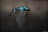 Tree Swallow (Chris Lue Shing) Tags: aurora ontario canada ca nikond7100 nikonafs70300f4556gvr bird nokiidaatrail mckenziemarsh wetland pond nature treeswallow bif flight action birdinflight ©chrislueshing spring newmarket afsnikkor70300mm14556g flying fly nikon 70300 70300mm nikkor animal wings tree swallow blue bullet