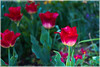 Flowers (j.c peaguda) Tags: uk unitedkingdon londres london stjamespark parc park