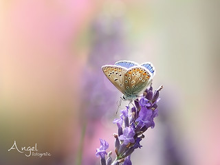 common blue on the lavender - EXPLORED 2017-08-15