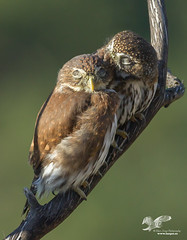 Pygmy Love (Northern Pygmy Owls) (The Owl Man) Tags: