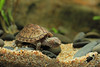 IMG_9876 (Laurent Lebois ©) Tags: laurentlebois france reptile rettile reptil рептилия tortue turtle tortoise tortuga tartaruga schildkröte черепаха chelonia sternotherus minor terrariophilie razorbackmuskturtle cinosterne