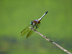 Blue Dasher male - Obelisking IMG_7913 (Jennz World) Tags: ©jennifermlivick mountpleasantnaturepark mtpleasant ontario canada dragonfly dragonflies damselfly damselflies