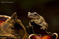 Amboli bush frog (Abhijit Joshi) Tags: amboli bush frog ambolibushfrog pseudophilautusamboli