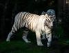 Tigre blanc (elodiemuhlach) Tags: zoo zooamneville animaux animals amnéville image pictures photographie photo panasonic lumix gf7 tigre blanc tiger white tigreblanc