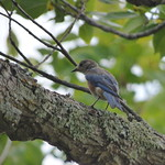 Eastern Bluebird, august 10, 2017 thumbnail