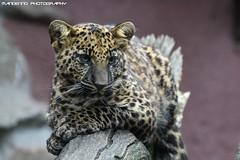 African leopard cub - Olmense Zoo (Mandenno photography) Tags: dierenpark dierentuin dieren animal animals african leopard cub cubs leopardcub olmense olmensezoo olmen belgie belgium bigcat big cat balen