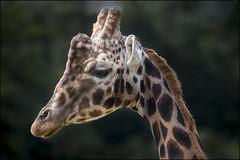 Giraffe Portrait (Darwinsgift) Tags: giraffe portrait nikkor 200500mm f56 vr af e nikon d850 cotswold wildlife park burford