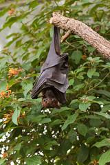 I am Batman!!! :-) (explored) (Jana`s pics) Tags: flughund fledermaus bat flügel hängen batman kopfüber ast wilhelma zoo stuttgart germany busch bush animal tier hangaround abhängen flying fox
