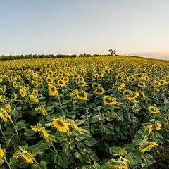 Sunflowers (michelangelomusso) Tags: girasoli fleurs nature italy italyiloveyou sony sonyitalia a6000 mirrolens langhe sun sunset summer flowers sunflowers