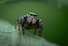 Saltique (guillaume.randon) Tags: sigma105mm kenko14 macro nikond7200 saltique araignée