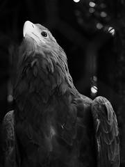La maestosità dell'Aquila reale (annaritadosi) Tags: eaglefly eagleeyes eagleroyal rapacious yeux ali rapace majesty olympus beak becco occhi eyes park flight volo parcofaunisticolecornelle eagle aquila
