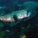 Bonaire 10.08.2017 - 27 balloonfish