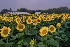_LCH6993 kansas sunflowers (snolic...linda) Tags: kansas lawrencekansas sunflowers sunrise