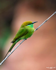 Green Bee-eater (mathewindelhi) Tags: bird birds birdphoto wildbird wild wildlife nature nikon delhi india gurugram gurgaon green aravali portrait