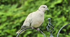 Collared Dove  (Explored) (Bogger3.) Tags: collareddove mygarden canon600d tamron150x600lens fullzoom handheld coth sunrays5 coth5 ngc npc