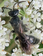 Tiphiid Wasp, Tiphia sp., The Watershed Preserve, Pennington, NJ (Seth Ausubel) Tags: hymenoptera tiphiidae