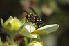 Potter wasp looking for caterpillars #2 (Lord V) Tags: macro bug insect wasp potterwasp