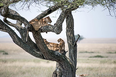 20170917 - Tanzania (1020 von 1444).jpg (Jan Balgemann) Tags: big five bigfive tanzania afrika animals serengeti wildlife