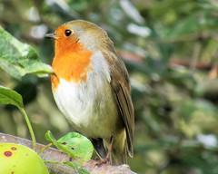 Robin (seanwalsh4) Tags: robin 7dwf sundaysfauna bird red