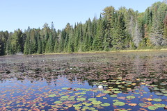 Hailstorm Creek (Suzanne Guest) Tags: camping canoeing water fall trees lakeopeongo algonquinprovincialpark leaves hairstorm creek lily