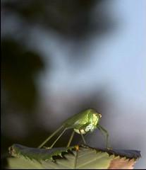 Tettigoniidae (Nelson-V.) Tags: