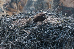 Osprey Nest in The Grand Canyon of the Yellowstone.-Yellowstone-August2017-132 (mrcadams) Tags: osprey nest canyon yellowstone bird