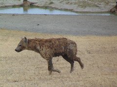 DSC00400 (francy_lioness) Tags: safari jeep animals animali ippopotami leone savana gnu elefante iena pumba tanzaniasafari ngorongorocratere gazzella antilope leonessa lioness facocero