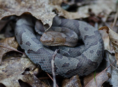 Copperhead (kayleeacres) Tags: copperhead snake wildlife reptile kentucky red river gorge native species animals hiking nature woods forest leaves fall