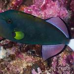 Pinktail Triggerfish, dark phase - Melichthys vidua thumbnail