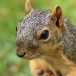 Squirrels in Ann Arbor at the University of Michigan on the first day of Fall Term (September 5th, 2017) thumbnail