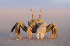 Ghost Crab (Daniel Trim) Tags: ocypode ghost crab wildlife nature animals africa madagascar morondava sea beach sunset