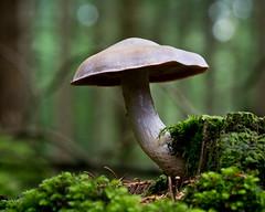 Mushroom (Photocalle) Tags: mushroom svamp forest