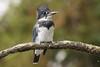 Palace Kingfisher (MelRoseJ) Tags: sanfrancisco california unitedstates sonyalpha sony sal70400g sonyilca77m2 a77ii alpha autofocus nature bayarea northerncalifornia birds palaceoffinearts beltedkingfisher