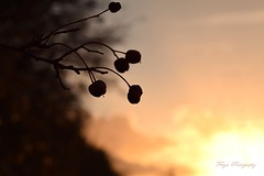 Backlit berries... (Maria Godfrida) Tags: 7dwf crazytuesdaytheme backlight backlit berries sunset nature flora plants evening sun sunlight silhouettes bokeh