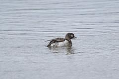 Female Long-tailed Duck at river Laxa S24A0425 (grebberg) Tags: bird river laxa myvatn iceland northiceland july 2017 female longtailedduck clangulahyemalis duck clangula