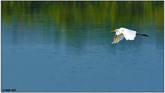 Great Egret DSC_4755 (blindhogmike) Tags: phinizy swamp augusta georgia ga egret