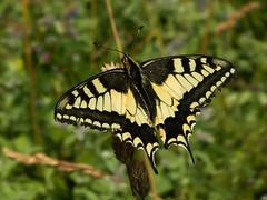 Schwalbenschwanz (schasa68) Tags: schmetterling schwalbenschwanz ritterfalter papiliomachaon falter insekten nature tier insekt insect macro makro