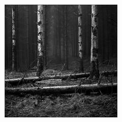 Skrylle - Fomapan 200 (magnus.joensson) Tags: sweden swedish forest lund skåne skrylle blackandwhite monochrome selfdevelop adonal adox 150 epson v800 scan 6x6 rolleicord v nofilter handheld fomapan 200