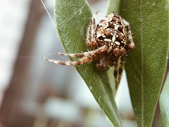 Spider (Erik Viggh) Tags: shotoniphone macros olloclip spider vsco