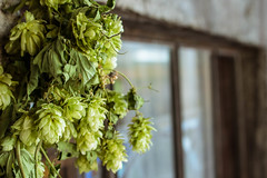 Hops. (MrMysteryPenguin) Tags: roadtrip travel usa art city photography beer hops ingredients plants green indie