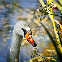Magical Moment (MrBlueSky*) Tags: swan bird waterfowl animal nature outdoor water aquaticbird kewgardens royalbotanicgardens london pentax pentaxart pentaxlife pentaxk1 pentaxawards pentaxflickraward aficionados