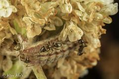 Acmon Blue (Plebejus acmon) - larva tended by Argentine ants (Linepithema humile) (aliceinwl1) Tags: acmonblue aculeata ant argentineant arthropod arthropoda butterfly ca california dolichoderinae formicidae formicoidea hymenoptera icaricia icariciaacmon insect insecta lepidoptera leptomyrmecini linepithema linepithemahumile lycaenidae odorousant papilionoidea plebejus plebejusacmon polyommatinae santabarbaracounty v acmon blue bluebutterfly caterpillar humile invasive larva locnoone nonnative viseveryone