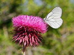 Black Veined White (chaz jackson) Tags: blackveinedwhite aporiacrataegi pieridae butterfly black white insect macro