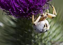 Crab spider after lunch - Explore (Patrick Dirlam) Tags: trips santamargaritalake macros bugs flowers crap spider explore explored