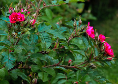 Wild Roses (Linnea from Sweden) Tags: canon eos 1100d efs 55250mm f456 is ii wild rose flower nature plant green summer