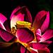 Lotus+flower+3