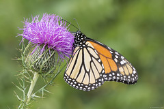 Butterfly 2017-115 (michaelramsdell1967) Tags: beauty nature macro flower animals bokeh beautiful closeup orange butterfly animal pretty green insect vivid garden purple insects wildlife thistle blossom wild vibrant bug butterflies meadow bugs monarch upclose monarchs